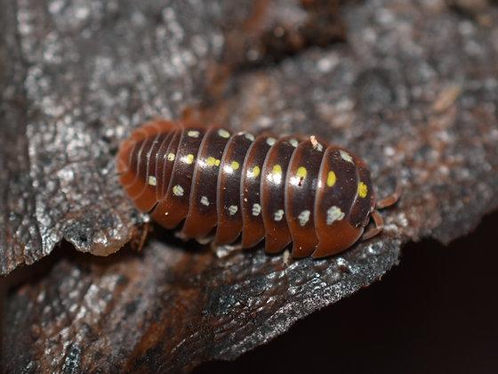 Armidillidium klugii montenegro Isopod 10 Count