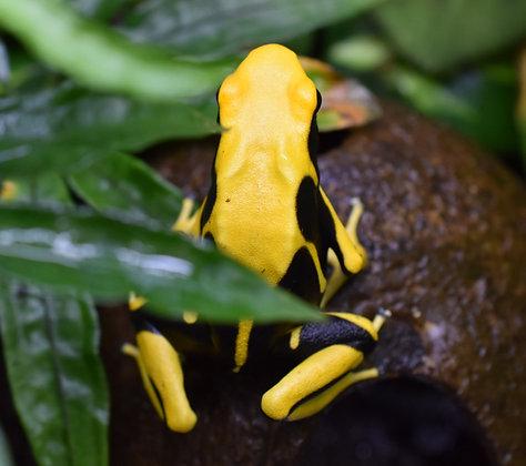 Dendrobates tinctorius 'Matecho' juvenile