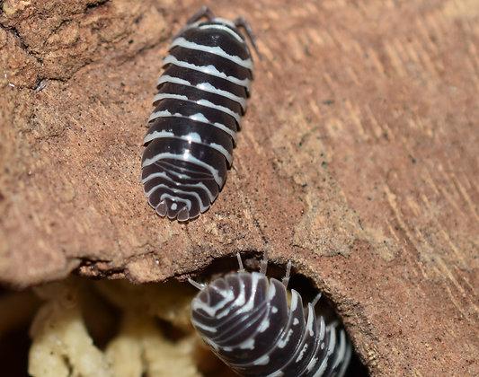 Armidillidium maculatum 'Zebra' Isopod 10 Count
