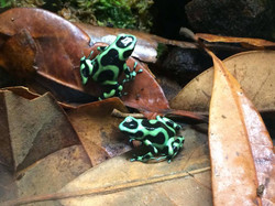 D. auratus 'Costa Rican'