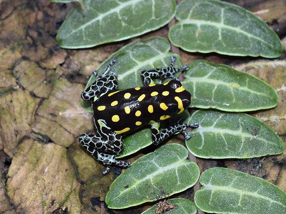 R. vanzolini  juvenile