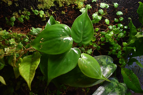 Heart Leaf Philodendron cutting