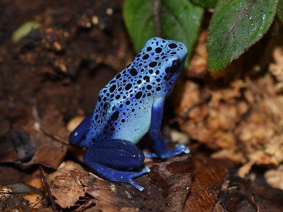 D. tinctrorius 'Azureus' juvenile