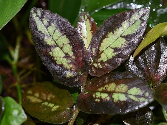 Pellinonia repens cutting