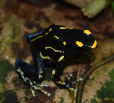 Dendrobates tinctorius 'Alanis' juvenile