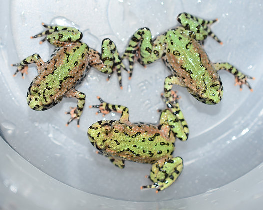 Fire Bellied Toad CB (Bombina Orientalis)
