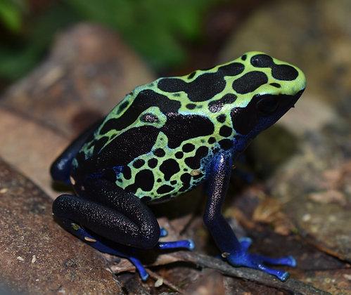 D. tinctorius 'Green Sipilawini'  juvenile
