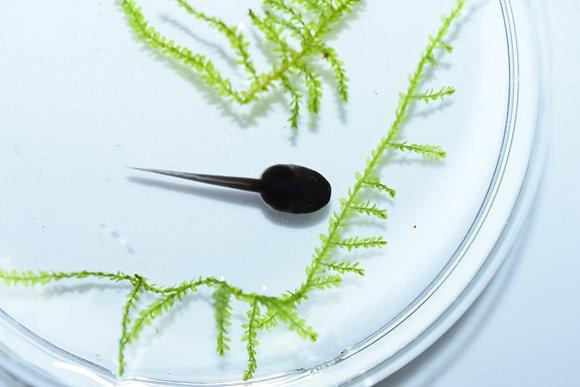 Dendrobates tinctorius 'Green Sipaliwini' tadpole