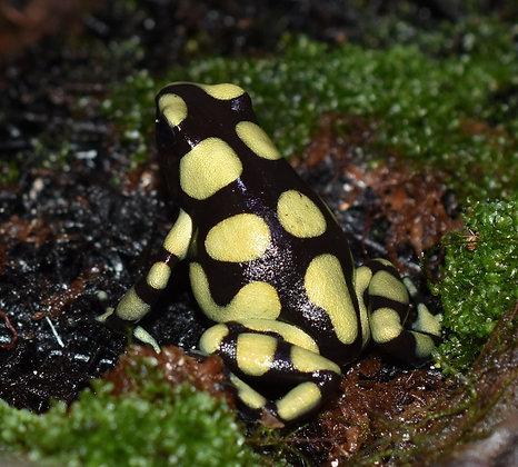 D. auratus 'Colombian'  juvenile