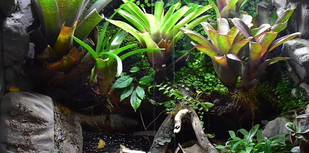 For the past 10 years TCS Dart Frogs has specialized in captive bred dart frogs, feeder insects, tropical plants, and vivarium supplies. Shipping Nationwide!