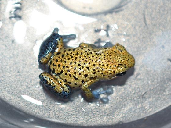 Oophaga pumilio 'Cristobal' Male
