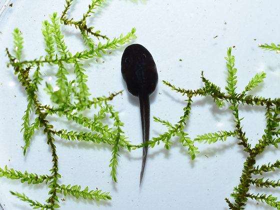 Dendrobates tinctorius 'Robertus' tadpole