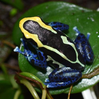 Dendrobates tinctorius 'Cobalt' juvenile