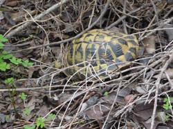 Schildkröte. Pedreras d´Hostal