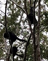 Monos aulladores en Palenque. Viajes Mahametta