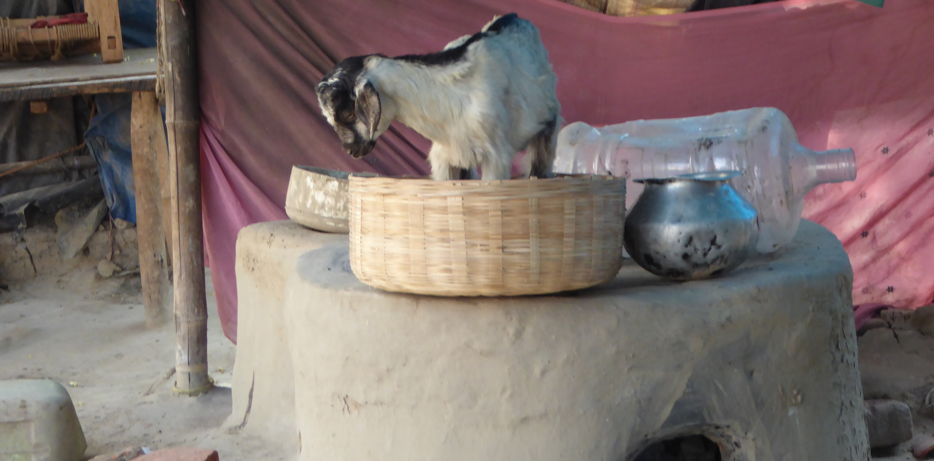 Goat playing