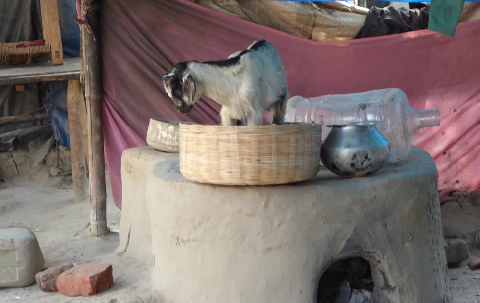 Goat playing