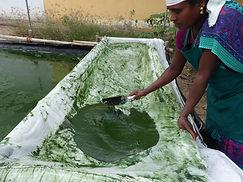 Sammeln Spirulina in Auroville, Indien. Maha Metta Spirituelle Reisen
