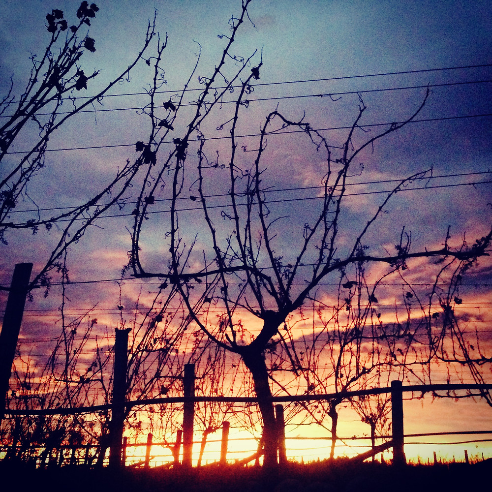 Vineyard sunrise - Renwick, New Zealand