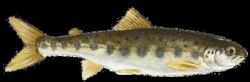 atlantic-salmon-parr_rgb_72_edited.png