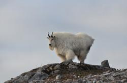 mountain-goat-1119856