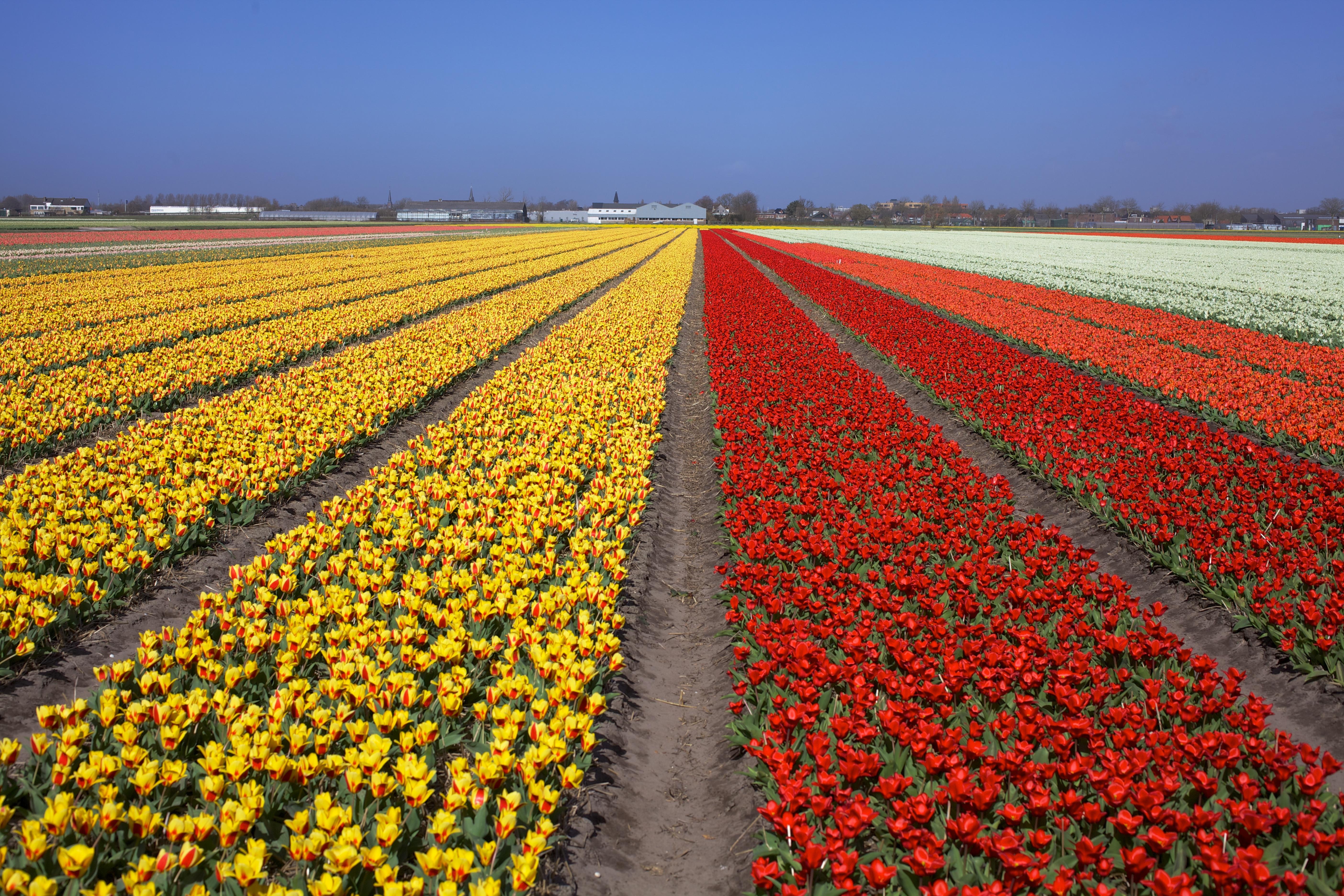 tulips-530054