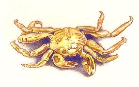 sand crab.JPG