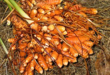 Công Dụng Của Cây Nghệ Vàng (Curcuma longa L., Zingiberaceae)