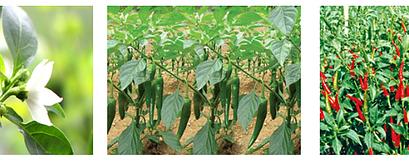 Tổng quan đặc điểm thực vật, thành phần hóa học và tác dụng sinh học của cây ớt
