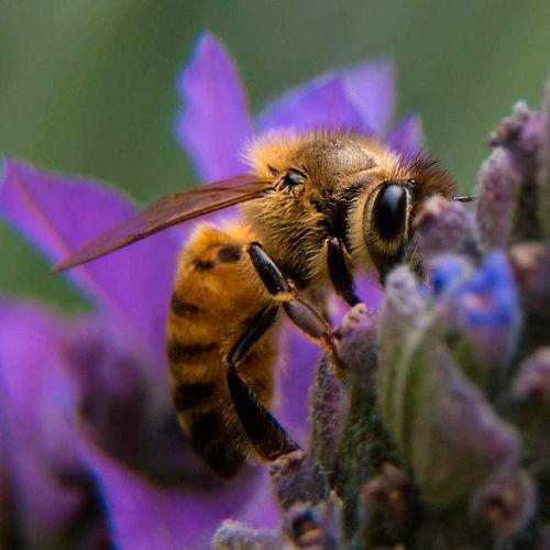 blog-aurelio-paez-abeja-veronica-apicult