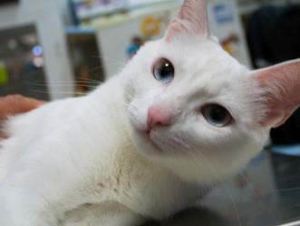 Esterilización felina; cuando hacerlo y las ventajas para tu mascota