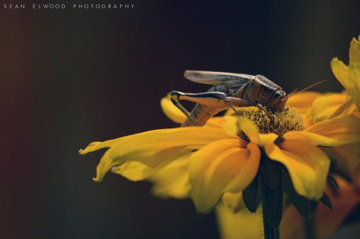 Feast of the Grasshopper