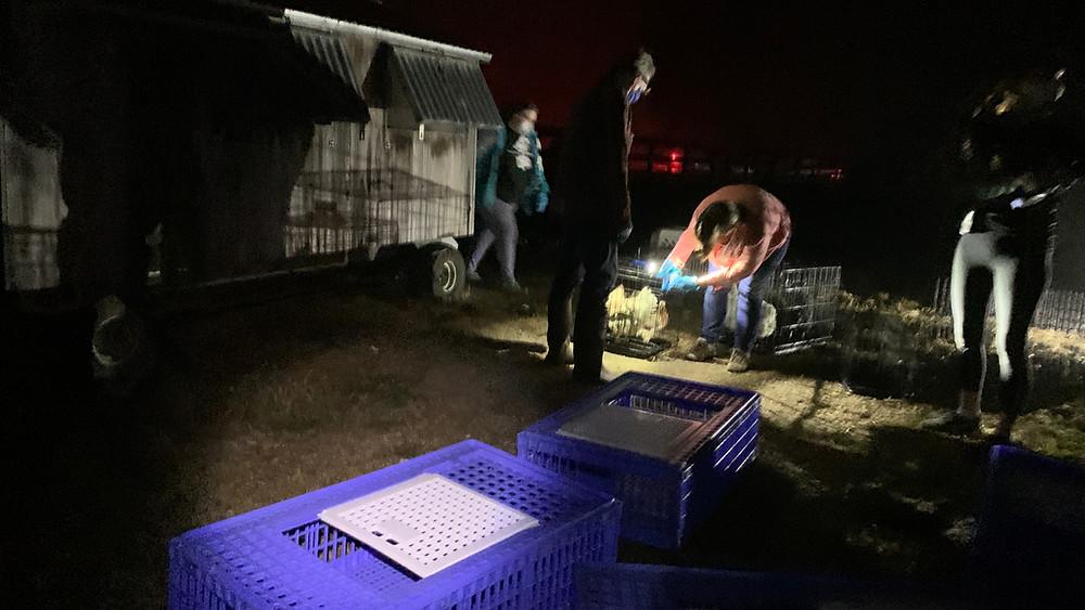 Evacuating chickens at night at Sweet Farm.