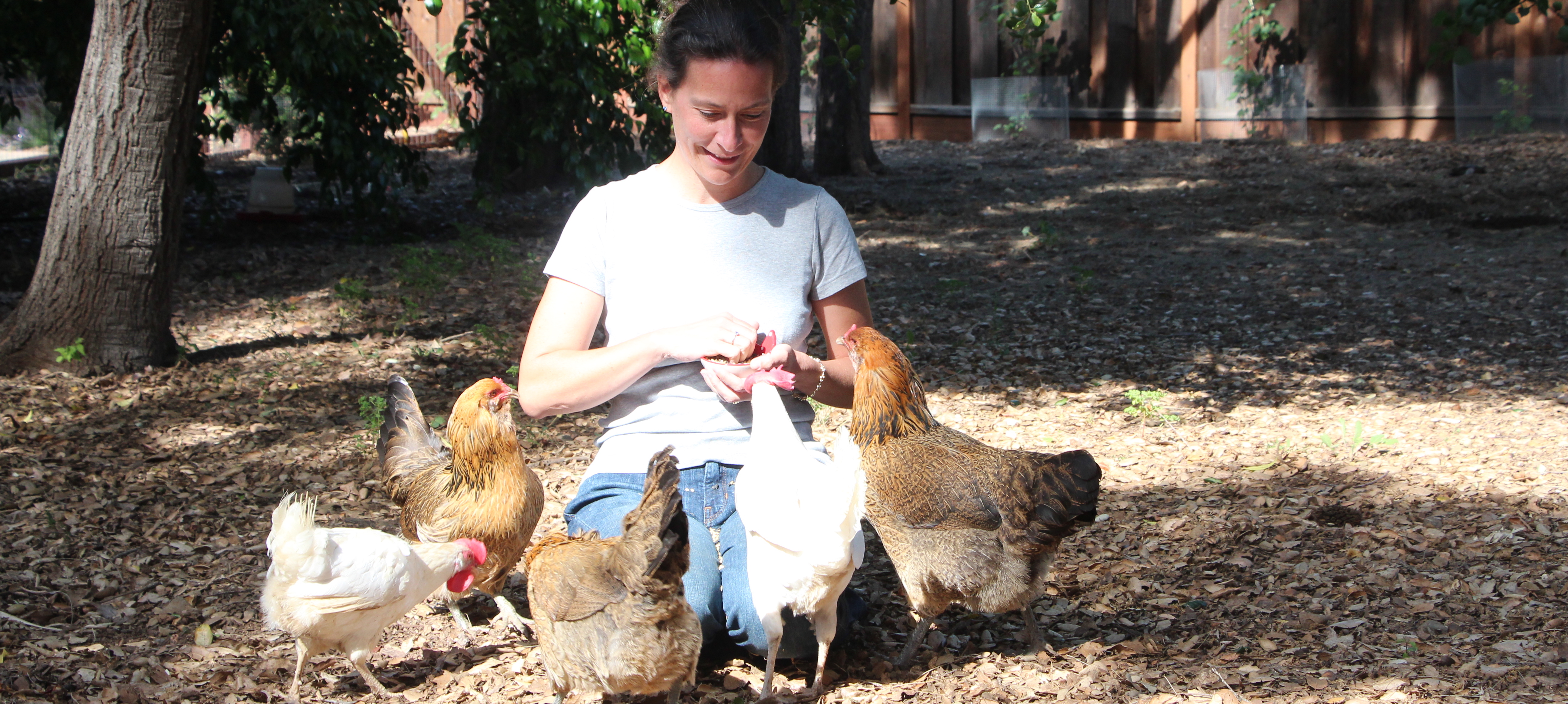 Introduction to keeping backyard chickens