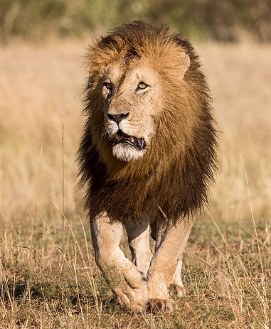 0711 What a Glorious Lion (2).jpg