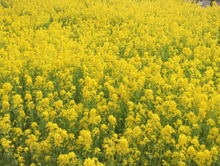 モテレシピ:菜の花で春ごはん