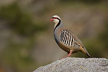 Chukar Partridge on rock with smoothly blurred background, northern Washington, near the C
