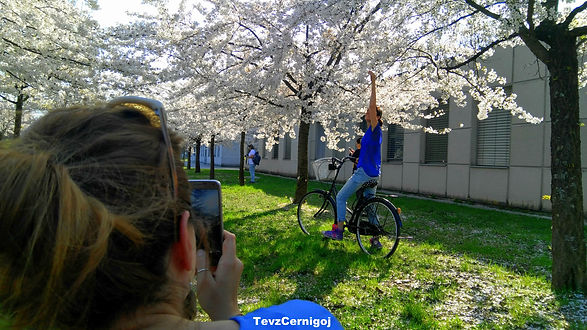 Photography of cherry blossoms and bicyle on Ljubljana bike tour.