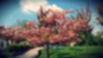cherry blossom in Ljubljana, Slovenia spring