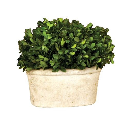 Small Oval Potted Boxwood