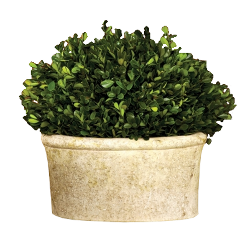 Large Oval Potted Boxwood