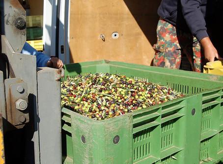Unser eigener Olivenhain: Von der Frucht zum Öl