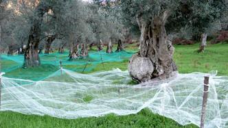 Olivenernte: Handarbeit, die sich lohnt