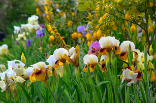 La collezione delle Iris ibride di Arillate