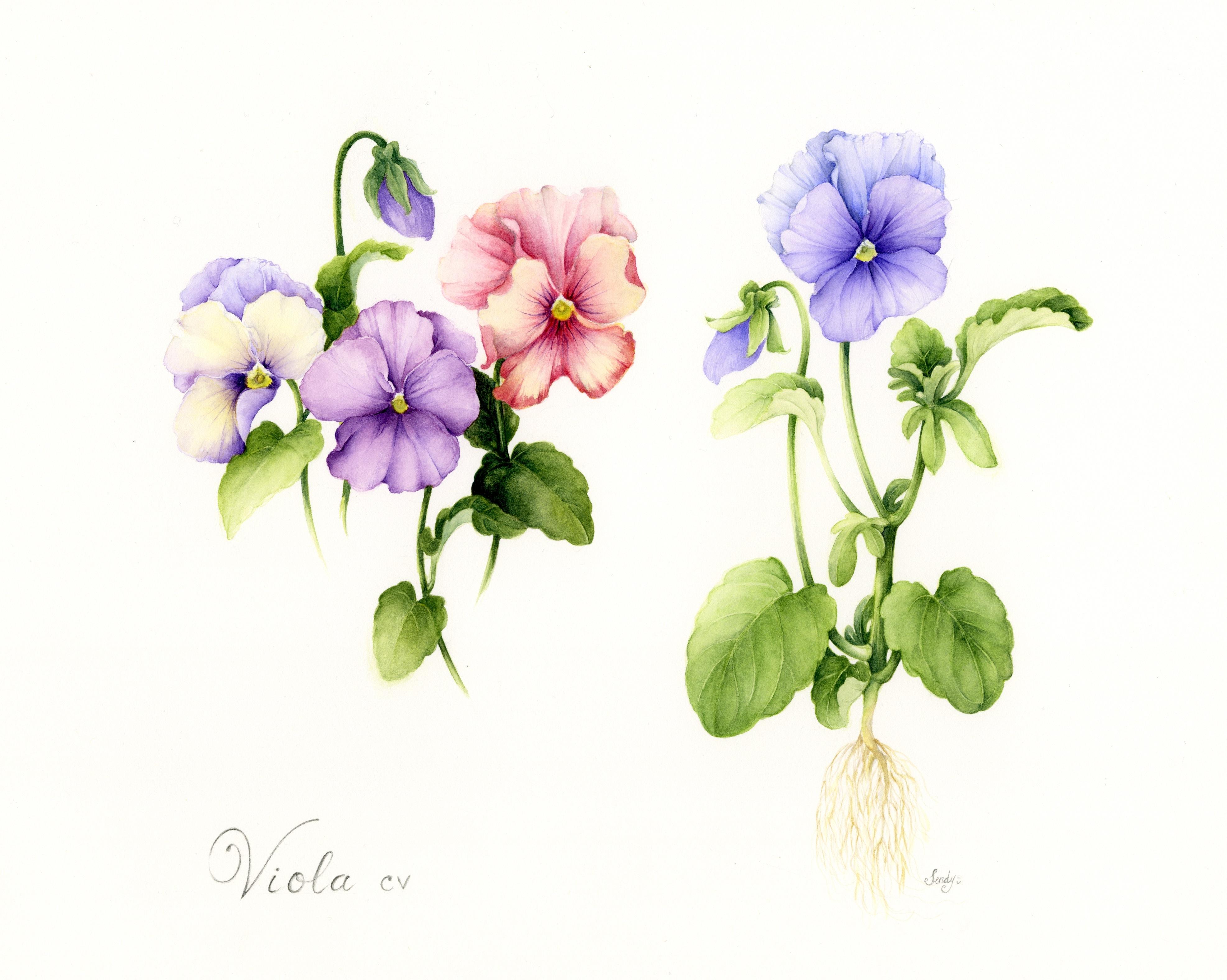 Viola cv