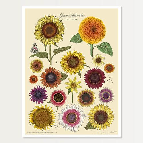 Sunflower Specimen Art Print 18x24
