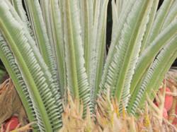 Sago Palm Fronds