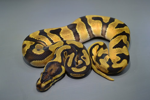 Enchi Orange Dream Het Pied