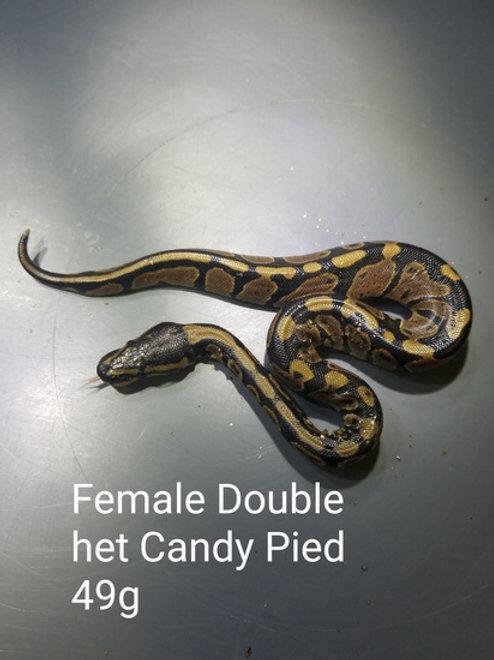Double Het Candy Pied