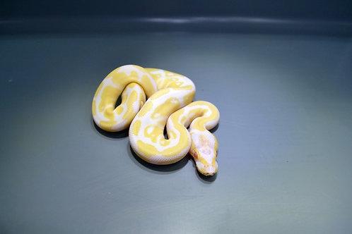 Albino Het Pied